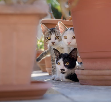 Three curious cat kittens peering out of their hideout between flowerpots, Crete, Greece
