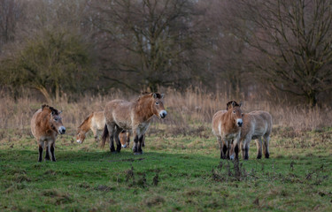 Endangered Przewalski horses in the outdoor