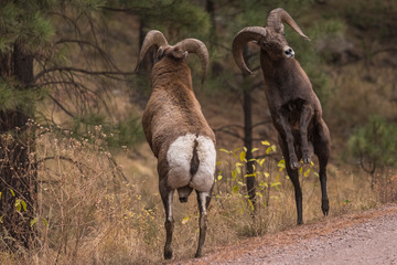 Bighorn sheep rams square off butting heads during mating season in the fall