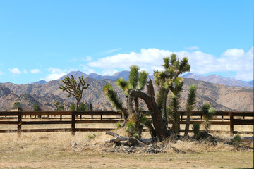 a western ranch and yucca tree near a fence range