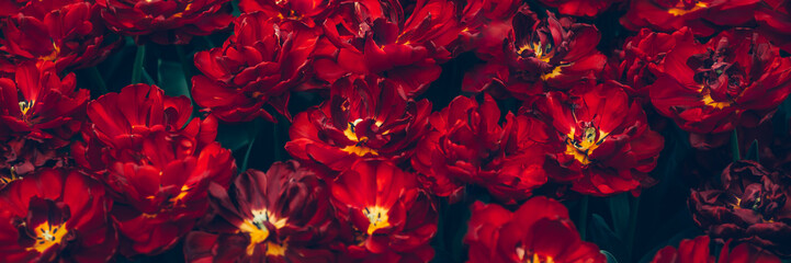 Spoed Fotobehang Bordeaux Close up of blooming flowerbeds of amazing parrot red tulips during spring. Public flower garden, Netherlands.