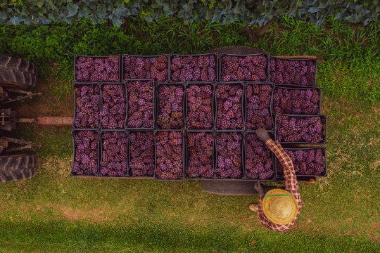 Produtor carrega trator com  uvas bordô utilizada para produção de sucos de uva em propriedade rural familiar.