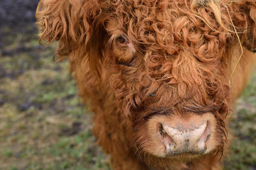 Close-up and portrait of the head of a Scottish highland cattle with brown matted fur that looks directly into the camera