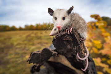 Fototapete - Virginia Opossum (Didelphis virginiana) Looks Out From Log End Autumn
