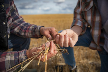 Close up grandfather and grandson farmers examining wheat crop
