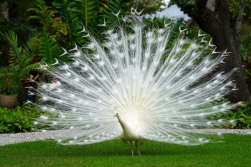 All white male peacock bird with its tail feathers opened