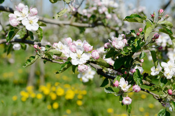 apple blossom on the tree in orchard