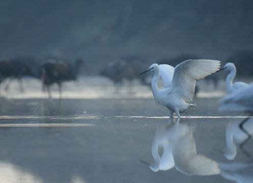Little Egret  fishing at sunrise