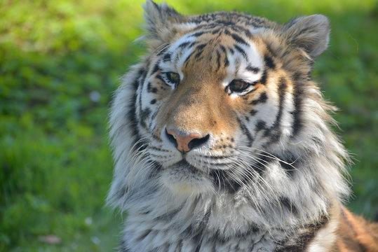 Sumatran tiger, Panthera tigris sumatrae,