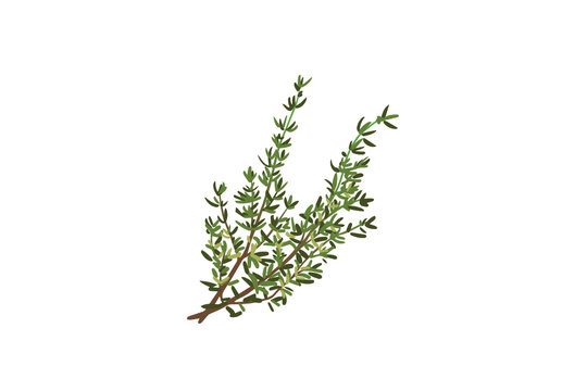 Fresh thyme sprigs, spice, close-upvector illustration isolated on white background
