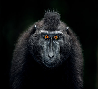 The Celebes crested macaque. Close up portrait, front view, dark background. Crested black macaque, Sulawesi crested macaque, or the black ape. Natural habitat. Sulawesi. Indonesia.
