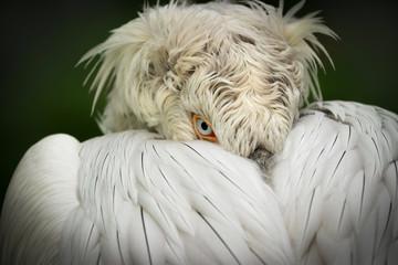 Fototapete - Detail portrait Dalmatian pelican (Pelecanus crispus)