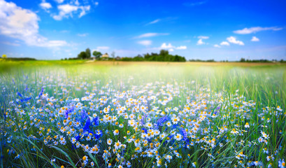 Wall Mural - Beautiful pastoral natural spring summer landscape with daisies and blue bells in field against blue sky with white clouds on sunny day. Chamomile in meadow in nature, panoramic view.