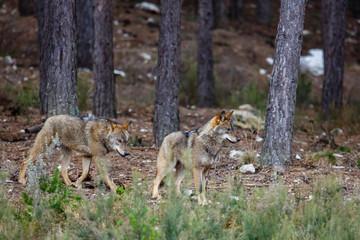 Canis lupus signatus. Manada de lobo ibérico en el interior de un bosque de pinos. Sanabria, Zamora, España.