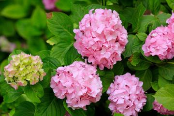 Zelfklevend Fotobehang Hydrangea Hortensien (Hydrangea) Busch mit rosa Blüten