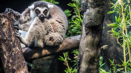 Lemur catta monkey