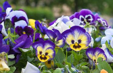 Papiers peints Pansies flowers viola with evil faces on them