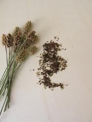 Edible ribwort plantain seeds and flower stalks