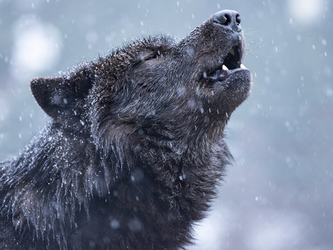 Howling wolf in winter against the background of snowing.