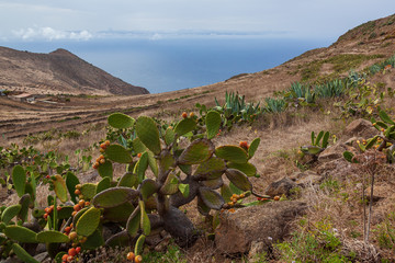 Field of cactus on the slope of the mountain range in Teno Country Park, Tenerife, Canary Islands, Spain