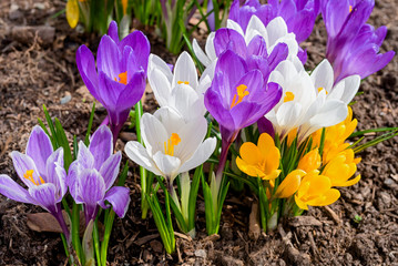 Photo sur cadre textile Crocus Mixed hybrid crocus flowering in the early spring garden.
