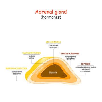Hormones of adrenal gland