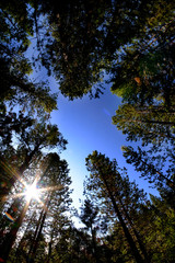 Forest of Pine Trees Fisheye Lens Sky and Sunstar