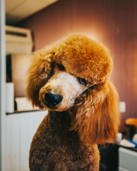 Apricot Standard Poodle Tilting Head At Grooming Salon