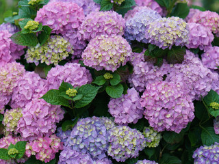 Fond de hotte en verre imprimé Hortensia Charming phloxes. Summer in France. Beautiful flowers. Concepts of beauty in nature. Suitable as a bright color backgrounds, template, poster, banners
