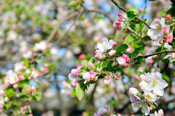 Flowers of an apple tree. Shallow depth of field. Fotobehang