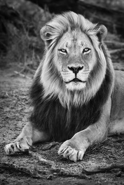 Male black maned lion portrait close-up in black and white looking fixed at the camera. Panthera leo. Kgalagadi