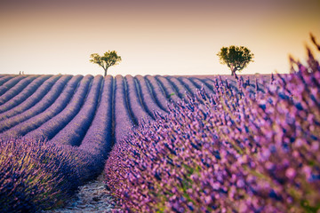 Fotorolgordijn Zalm Beautiful blooming lavender field in Valensole, France