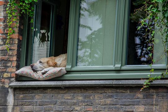 dog sleeping in window in belgium
