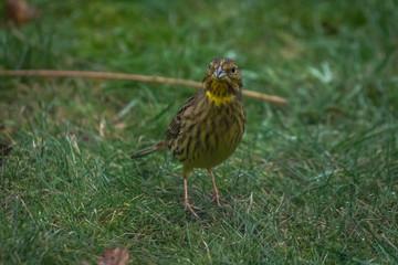 Yellow Bunting Bird on the grass