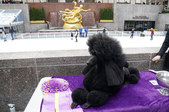 Siba, a standard poodle that was named best in show at the Westminster Dog Show, sits on a table during a photo opportunity in New York City