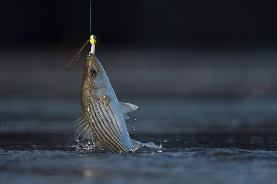 A fish being pulled from the water caught on a hook with fishing line and a splash.