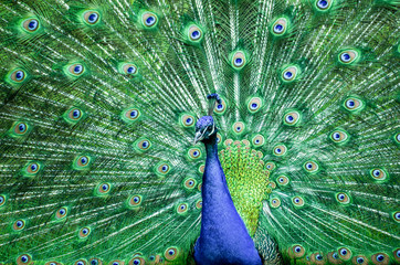 peacock with feathers out before dqancing