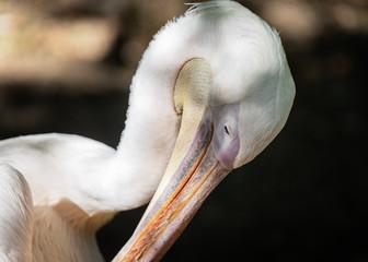Ritratto ad un Pellicano, Zoo di Pistoia