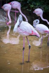Fenicottero Rosa, Zoo di Pistoia