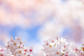 Wall Mural - Cherry blossom  flower in spring for background or copy space for text
