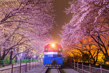 Wall Mural - Cherry blossom in spring is the popular cherry blossom viewing spot, jinhae South Korea.