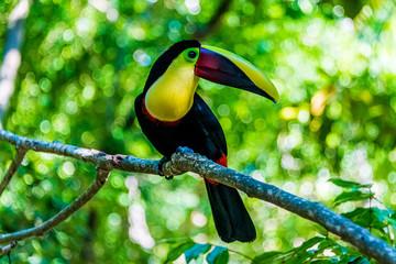 Fotorolgordijn Toekan toucan on a branch