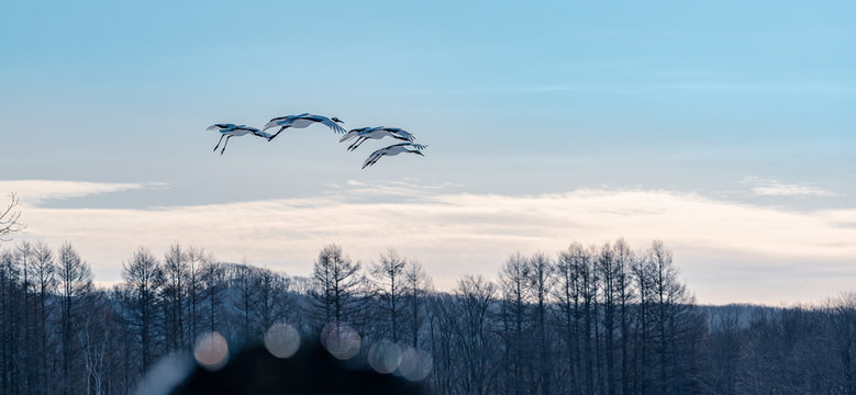 Japan winter travel, Red-crowned crane flying on the sunrise blue sky.