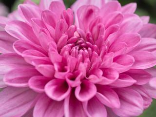 Poster de jardin Dahlia a beautiful close up pink dahlia