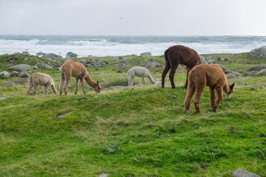 Alpaca by the sea