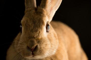 可愛いミニウサギのアップ写真