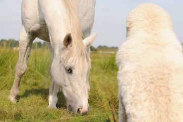 white horses  and dog Kuvasz on the pasture