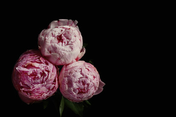 Beautiful fresh peonies on black background. Floral card design with dark vintage effect