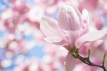 Photo sur Aluminium Magnolia Beautiful blossoming pink magnolia flower in pastel, delicate colors