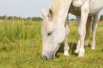 white grazing Arabian horse on pasture
